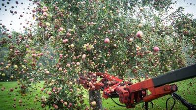 Wenn die Baumrüttelmaschine kommt, fliegen die Äpfel in alle Richtungen. (Bilder: Ralph Ribi)