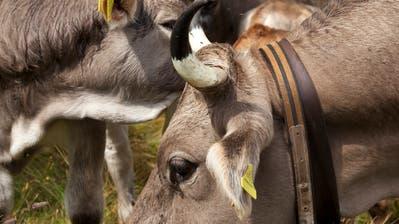Hörner verraten auch, wie oft eine Kuh gekalbt hat.. (Bild: Keystone)