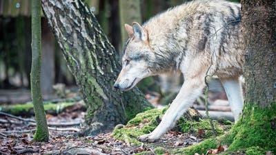 In der Schweiz werden immer mehr tote Wölfe gefunden. Gleichzeitig hat sich auch ihre Zahl in den letzten Jahren vervielfacht. (Bild: Benjamin Manser)