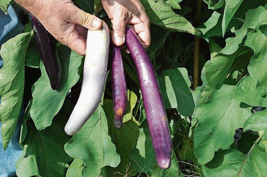 Als neues Projekt versucht sich Lubera an der Züchtung von Gemüse. Hier zu sehen sind zwei von rund 50 Auberginen-Testsorten.