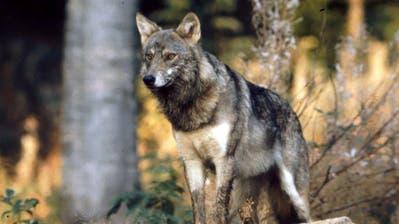 Allen voran der Wolf - im Bild ein Exemplar in Gefangenschaft - sorgt im Kanton Uri für Unmut. (Bild: Romano Cuonz, 2015)