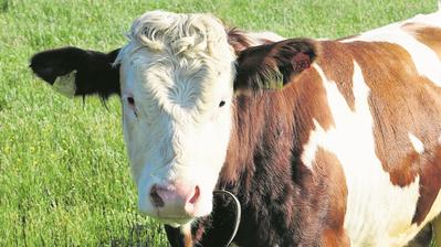 Hornlose Kühe sind laut Experten einfach zu züchten. Bild: Ralf Menache / Getty