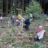 Mit Eifer sind die Schulkinder daran, Eicheln und Bucheckern zu sammeln, und sie auf den Schadensflächen in die Erde zu drücken. (Bilder: Evi Biedermann)