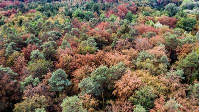 Wie im Herbst: Ein Waldstück bei Frauenfeld anfangs August. (Bild: Benjamin Manser)