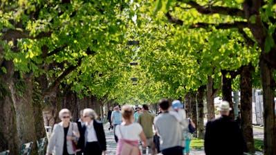 Am Nationalquai in Luzern ersetzt die Stadt neun Kastanienbäume. (Bild: Pius Amrein, 23. April 2015)