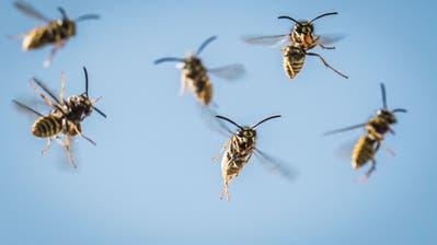 Wespen fliegen auf ihr Nest zu. (Bild: Keystone/DPA/Frank Rumpenhorst)