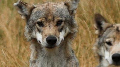 Oberster Schweizer Wildhüter: «Zweites Wolfsrudel in Graubünden»