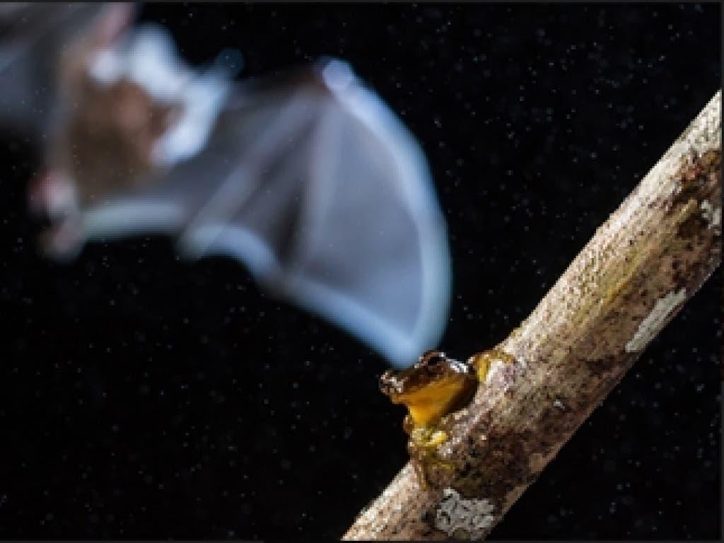 Gesamtsieg in der Studentenkategorie: Fledermaus schnappt sich gelben Frosch am Amazonas von Adrià López Baucells, Universität Lissabon. (Bild: British Ecological Society)
