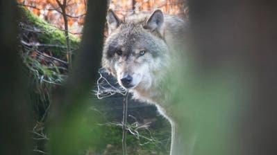 Ein Wolf im Wildpark Bruderhaus bei Winterthur. (Bild:Benjamin Manser)