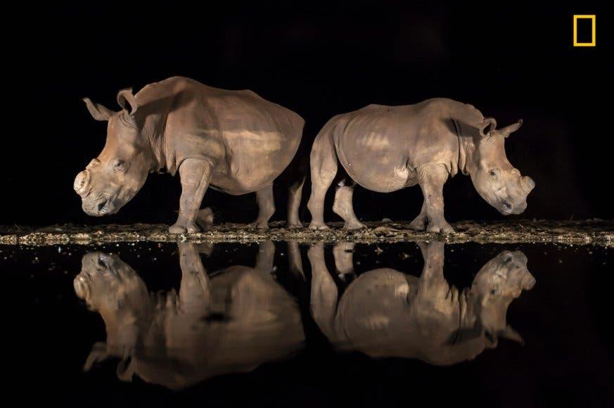Diesen Nashörnern in Südafrika wurden die Hörner entfernt, damit sie für Wilderer nicht von Interesse sind. (Bild: National Geographic/Alison Langevad)