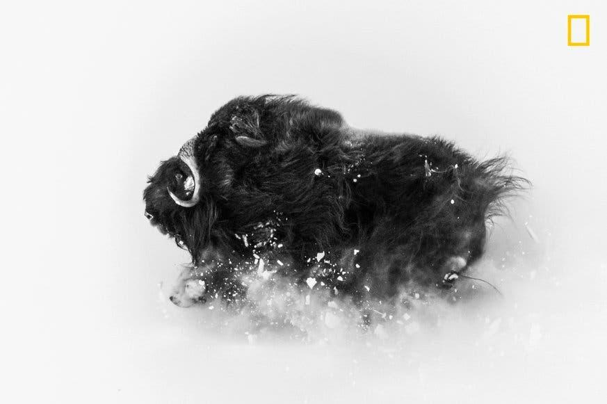 Moschusochsen sind toughe, arktische Tiere: «Dieses Bild zeigt ihre Schönheit und Kraft – sowie den Schnee mit dem sie 8 Monate im Jahr zu tun haben.» (Bild: National Geographic/Jonas Beyer)