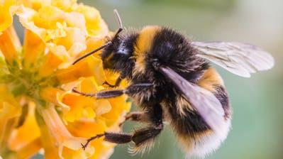 Eine Hummel sammelt Pollen von einem Schmetterlingsbusch. (Bild: Fotolia/ Ian Grainger)