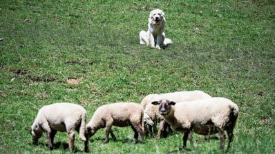 Umstrittene Herdenschutzhunde: Urschner erkämpfen sich Mitspracherecht