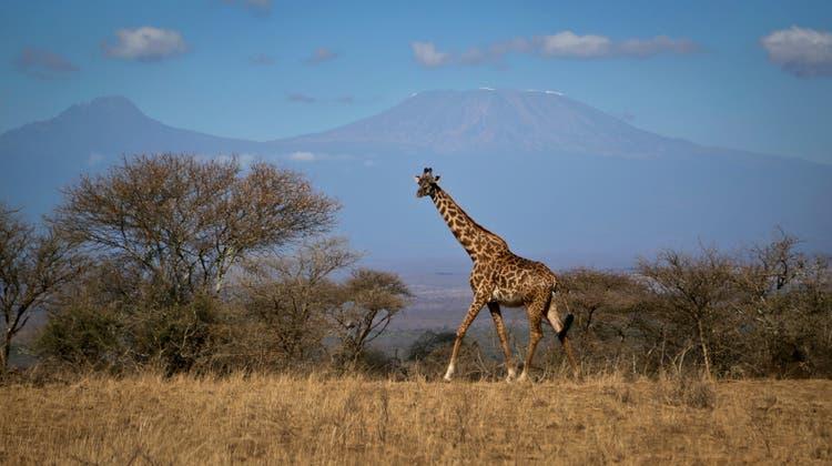 Im Amboseli Nationalpark in Kenia. (Bild: AP)