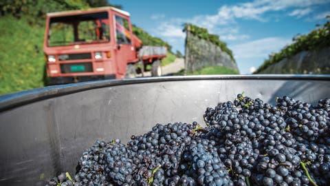 Weinjahr 2018: Eine Ernte ganz ohne Probleme