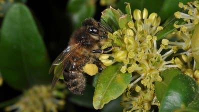 ZUG: Ein kleiner Fehler kann für die Bienen fatale Folgen haben
