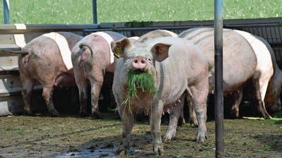 ZUCHT: Russen setzen auf Sempacher Schweine
