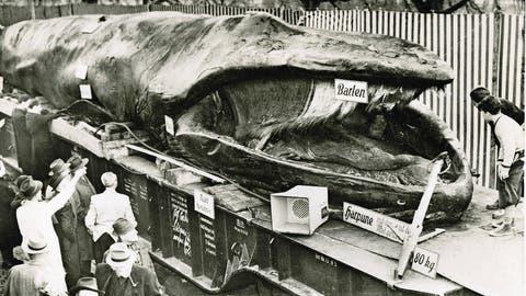PRÄSENTATION: Als ein 55-Tonnen-Wal in Luzern strandete
