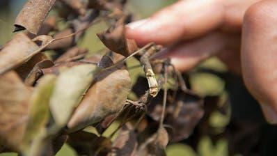 FEUERBRAND: Kanton Luzern verfügte zu Recht die Rodung kranker Birnbäume