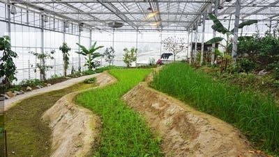 Reisanbau im Tropenhaus Wolhusen: «Wenn wir 100 Kilo Reis schaffen, wäre das schon viel»