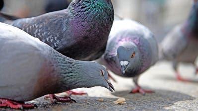 REGULIERUNG: So lassen Luzerner Tauben Federn