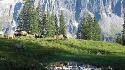 URI: Folgen der Rinderseuche auf Urner Alpen ist weniger schlimm als befürchtet