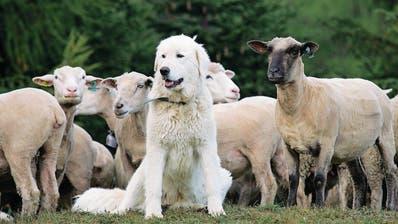 Herdenschutzhund: Urschner vergraulen Schafhalter