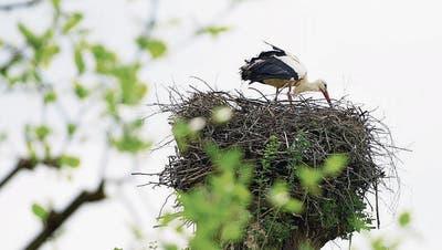 BUOCHS: Feuer unter dem «Dach» bei Familie Storch