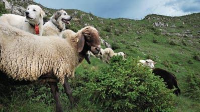 ANDERMATT: Herdenschutzhunde werden zur Herausforderung für Touristen