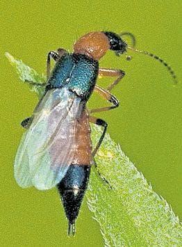 skorpion käfer