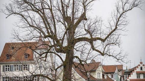 Die schützenswerten Stadtbäume