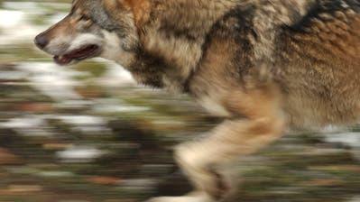"""THURGAU: """"Der Wolf muss weg"""""""