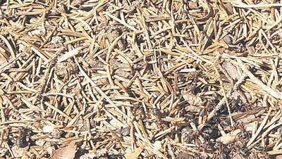 Ameisen – die Arbeiter am Waldrand