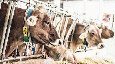 MELKEN: Mit Heumilch gegen den tiefen Milchpreis