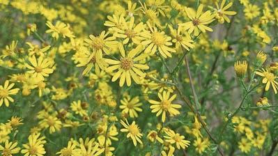 NEOPHYTEN: Eine Giftpflanze wuchert: Das Geiskraut macht sich in der Region breit