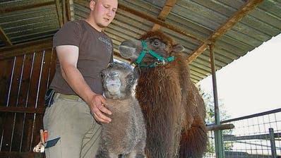 Kamelnachwuchs im Plättli-Zoo