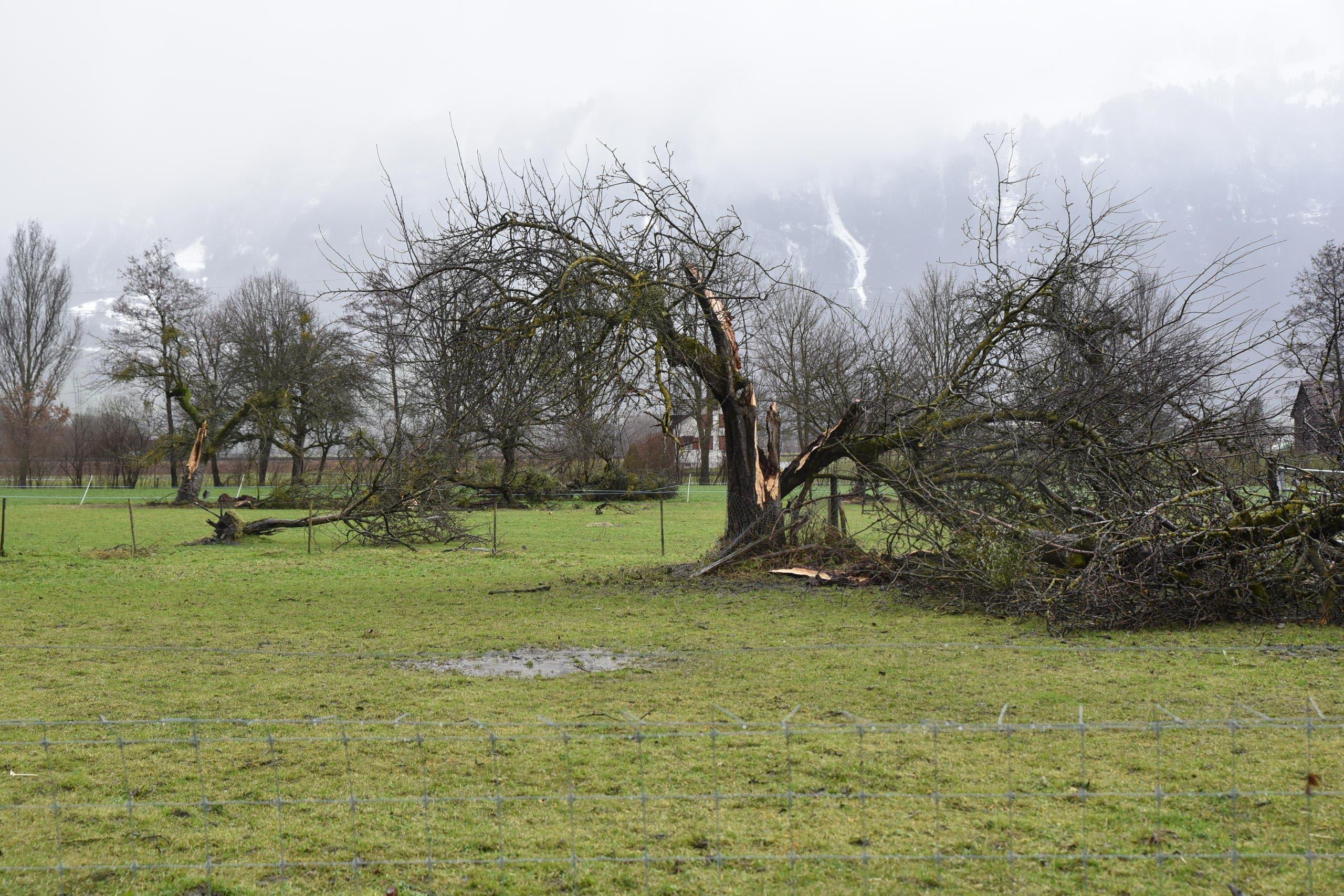 Auf einer Wiese bei Salez wurden ganze Bäume geknickt und grosse Äste abgebrochen. (Bild: Heini Schwendener)