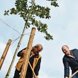 Open-Air-Veranstalter pflanzen auf der Grossen Allmend eine weitere Eiche