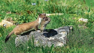 Mäuse sorgen für grosse Ertragsausfälle