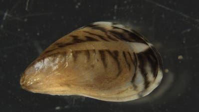Die Quagga-Muschel kann vier Zentimeter gross werden. (Bild: LUBW)