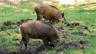 Wildschweinbestände im Kanton St.Gallen nehmen zu