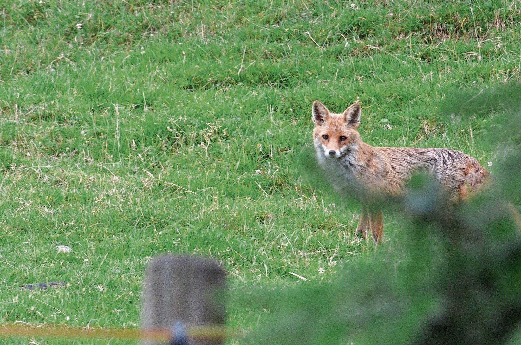 Ist es leise, wagen sich die Füchse bis zu den Häusern. Es handelt sich hier um einen der beiden Füchse des oberen Bildes.