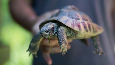 Die Schildkröte aus dem Kanalbecken an der Sitter im Tierheim Sitterhöfli. (Bild: Benjamin Manser)