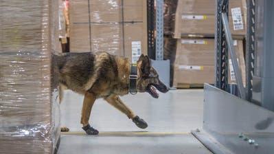 Sprengstoff-Übung in der Ikea St.Gallen: Spürhund Quinto freut sich auf den Muff