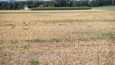 Trockenes Feld bei Züberwangen. (Bild: Ralph Ribi)