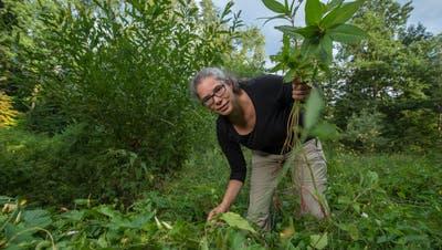 Susan Fehr ist Freiwillige Neophyten-Bekämpferin. Hier im Benziwilerwald in Emmenbrücke beim Beseitigen eines Drüsigen Springkrauts. (Bild: Dominik Wunderli, 10. Juli 2018)