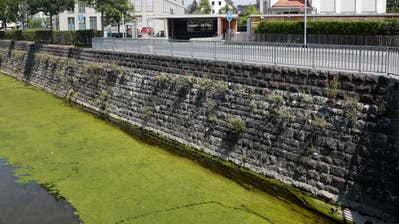 In der Jona wuchern die Algen. (Bild: Moritz Hager)