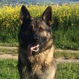 Jugendlicher verklagt die Luzerner Polizei - weil er von einem Polizeihund gebissen wurde
