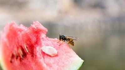 Mögen Süsses: die Wespen. (Bild: Getty)