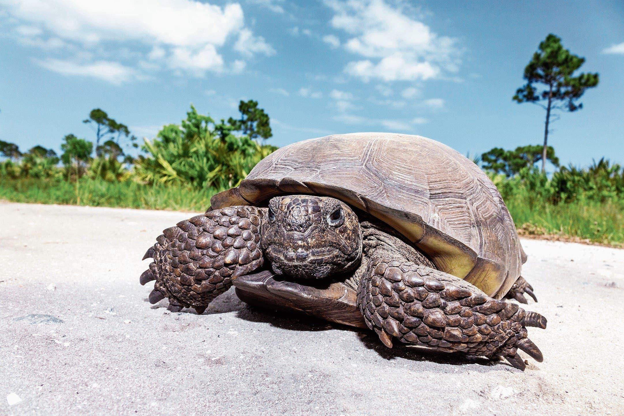 Die Amerikanische Gopherschildkröte hat es gut: Je älter sie wird, desto fruchtbarer ist sie. (Bild: Jeffrey Greenberg/Getty)